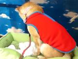 変な服を着せられてテンションがた落ちの柴犬