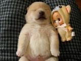 仰向けで眠る、生まれて9日目の柴犬の赤ちゃん