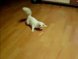 レーザーポインタの光りを追いかける猫の動きが面白カワイイ