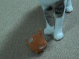 「これで遊んで!」遊びたいおもちゃを自分で選んで持ってくるネコ