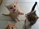 ネコ好きにとっては至福の時間。ごはんが待ちきれずにミャーミャー鳴きまくる子猫(しかも4匹)