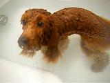 お風呂が気持ち良すぎて、思わずオナラをしてしまったトイプードル