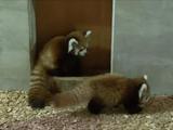 赤ちゃんレッサーパンダが繰り出すパンダアタックの可愛さが異常