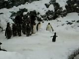 ワーイ!ワーイ!雪に大喜びするペンギン