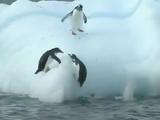 超癒し系動画/氷山に飛び乗っては滑り落ちる「ペンギンたちの遊び」