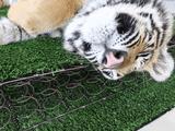 ペットのトラが眠そうなので、肉球とか爪とか牙とかをどアップで撮影してみんなにお届けしようと思った飼い主さん