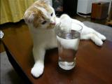 横着にグラスの水を飲む猫のポッケちゃん