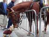 ニューヨーク市警の「お馬さん」と「フレンチブルドッグ」が道でバッタリ出会った動画が癒されるとネットで評判