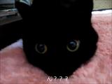 そろそろお眠りしようかな♪と思っていたのに、飼い主さんがオモチャを動かすもんだから、それどころじゃなくなった黒猫のぽんこちゃん