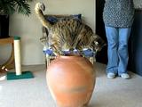 ポッチャリ体型のくせに壺に入ろうとして、案の定、途中で引っ掛かって爆笑される猫