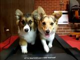 ランニングマシーンで仲良くお散歩する2匹のコーギー犬