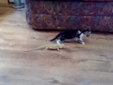 子猫がトカゲで大パニック