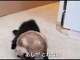 しゃべる猫「しおちゃん」 vs ティーちゃんのレスリングで「足が取れない」