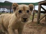 うわぁああああ!ライオンが追いかけてくるぅうう!