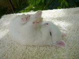 なんちゅう格好で寝とんねん!と突っ込みたくなる、もっふもふの白いウサギ