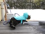 さく。さく。お庭に積もった雪のうえを歩く猫のまるちゃん