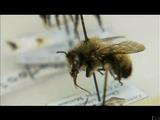 世界的な生態学的大惨事=ミツバチの大量死を追ったドキュメンタリー/ヒストリーチャンネル「消えた蜜蜂の謎」