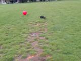 でっかいゴムボールで遊んでいたフレンチブルドッグが勢い余ってウルトラCを発動