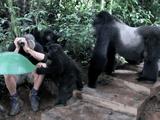 生涯忘れられない経験!野生のマウンテンゴリラの群れと遭遇して、シルバーバックに監視される中、子供のゴリラから徹底的に取り調べを受ける男性旅行客