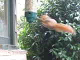 リスが乗ると回転して振り落とす「リス避けの仕掛け」がついた「鳥さん専用のえさ箱」に果敢に挑む野生のリス