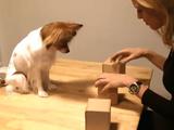 美女が愛犬のレミちゃん相手にスリーシェルゲーム