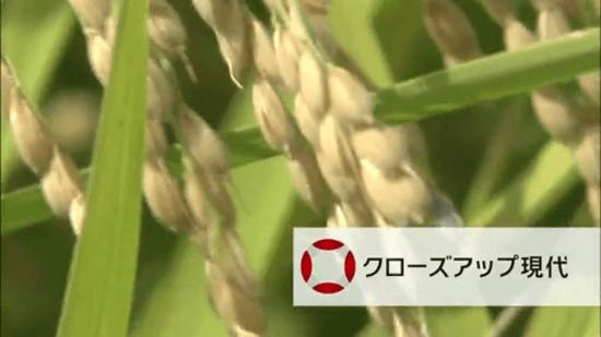"NHK・クローズアップ現代「コメ作り大転換 ~""減反廃止""の波紋~」"