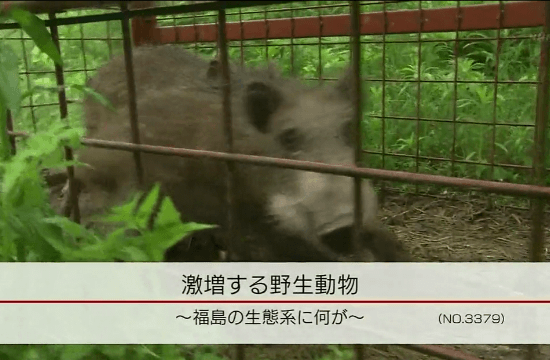 NHK・クローズアップ現代「激増する野生動物 ~福島の生態系に何が~」