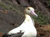 絶滅危惧種の海鳥「アホウドリ」を移住させ、繁殖に成功した史上初の快挙を追ったドキュメンタリー/NHKスペシャル「小笠原の海にはばたけ ~アホウドリ移住計画~」