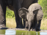 まだ鼻を使って上手に水が飲めない赤ちゃん象がムッキー!ってなってて可愛い