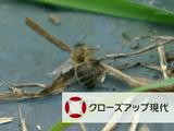 謎のミツバチ大量死 EU農薬規制の波紋/NHK・クローズアップ現代