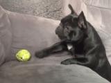 ソファの上にあるテニスボールを取りたいけど、あとちょっとのところで届かず悶絶するフレンチブルドッグ