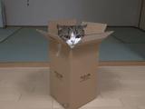 小さい箱に上手に入ってドヤ顔する猫のまるちゃん