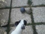 亀さんブチ切れ!遊んでたボールを2回も犬に横取りされて堪忍袋の緒が切れるカメ