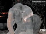 インドで50年間も鎖につながれ虐待を受けてきた1頭の象が助け出され、解放されたゾウが「涙」を流して話題に