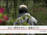もう一度咲かせたい 福島のバラ/NHK・クローズアップ現代