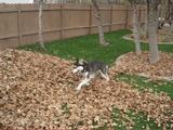 何だコレ超楽しい!枯葉の山に突撃しまくるハスキー犬