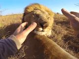 ライオンから信頼されまくっている男性、ケビン・リチャードソン(Kevin Richardson)さんの目線が体験できる臨場感たっぷりのGoPro映像