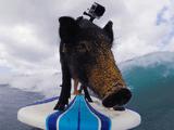 え?豚? ブヒブヒ言いながらサーフィンする豚のカマさん