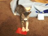 開けると音が鳴るタイプのクリスマスカードが大嫌いで、光の速さで閉じに来る子猫