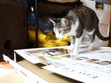 猫なめてんじゃねえ!明らかに自分の体より薄っぺらい箱にキッチリ収まって「猫=箱in」を体現する猫さま