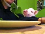 サラダを「おねだり」する子豚ちゃんが「いとかわゆす」
