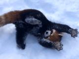 雪に大はしゃぎするレッサーパンダ