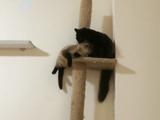 キャットタワーの最上階をめぐる空中戦で「カワイイ作戦」に出た猫のティーちゃんに「それ効かないから止めた方がいい!」と助言する飼い主さん