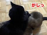 いきなりガバっとな!意外と男前なところもある猫のしおちゃんと、そんな事には慣れっこな猫のティーちゃん
