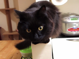 「まな板の上には乗らないでね」という言いつけを守って料理観察する猫のしおちゃん in ニューヨーク