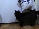 出前の人が来ることを察知してドアの前で待機する、「お客さん大好きくん」な猫のしおちゃん