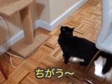 """なんかコレ「ちがう~」/子猫の鳴き声で""""ジングルベル""""を演奏するタイプのクリスマスカードに反応しまくるも速攻で興味を失う猫のしおちゃん"""