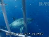 """""""ジョーズ""""の謎に挑む ~追跡!巨大ザメ~/NHKスペシャル"""