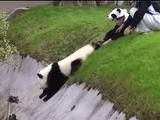 自由すぎる子パンダの「離してよ~」からの「ひっぱってよ~」