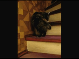 自分のシッポを咥えたまま階段をのぼる事に成功した猫
